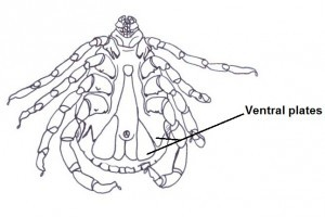 Ventral plates