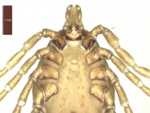 H. marginatum female ventral g 0