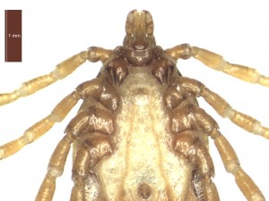 H. marginatum male ventral g 0