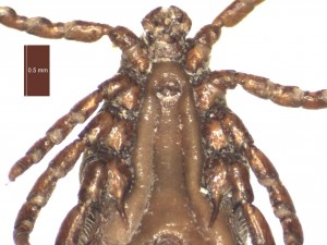 H. punctata male ventral g 0