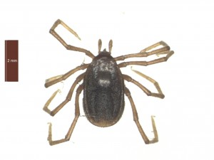 I.vespertilionis female dorsal 0