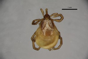 Ixodes_apronophorus_f-gbthompsoncollectiontray84-dorsal-4_0x 0