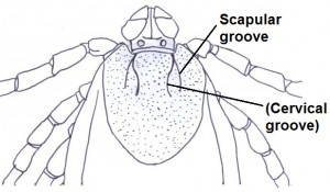 Scapular groove