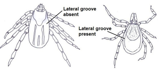 Lateral groove